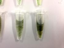 griffa_algae_micropipettes