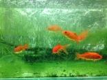 griffa_algae_goldfish